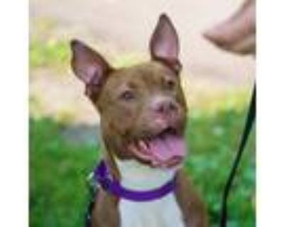 Adopt Diamond a Brown/Chocolate American Pit Bull Terrier / Mixed dog in Ann