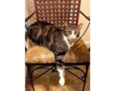 Adopt Stinker a Black & White or Tuxedo Domestic Shorthair / Mixed (short coat)