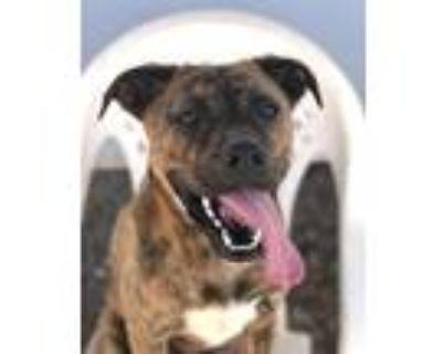 Adopt JAX a Pit Bull Terrier, Australian Cattle Dog / Blue Heeler