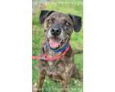 Adopt ZEUS - see video a Brindle - with White Plott Hound / Mixed dog in