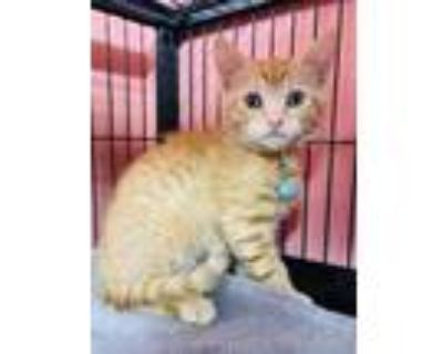Adopt Mako a Tan or Fawn Domestic Shorthair / Domestic Shorthair / Mixed cat in