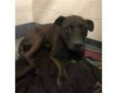 Adopt REX a Brown/Chocolate American Pit Bull Terrier / Mixed dog in
