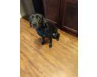 Adopt Saydee a Black Labrador Retriever / Mixed dog in Fairborn, OH (31493777)