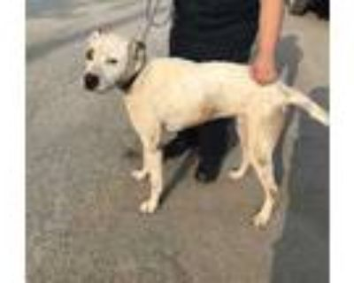 Adopt Shilo a White Retriever (Unknown Type) / Mixed dog in Fort Worth