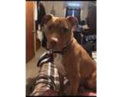 Adopt Shelby a Red/Golden/Orange/Chestnut American Pit Bull Terrier / Mixed dog