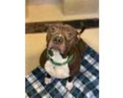 Adopt Two Two a Black American Pit Bull Terrier / Mixed dog in Newport News