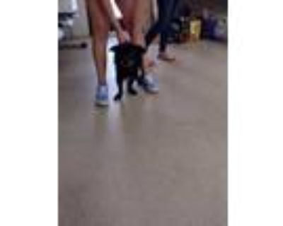 Adopt 48282926 a Black Retriever (Unknown Type) / Corgi / Mixed dog in Fort
