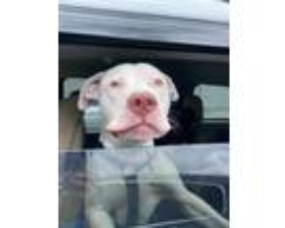 Adopt GAME BOY a White American Pit Bull Terrier / Mixed dog in Louisville