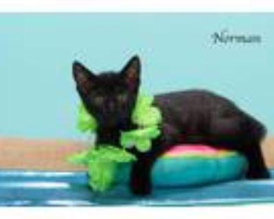 Adopt Norman a Domestic Shorthair / Mixed (short coat) cat in San Jacinto