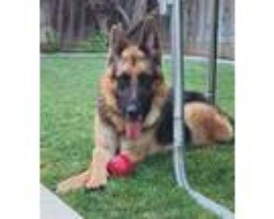 Adopt Titan D7485 (was Steve) a Black - with Tan, Yellow or Fawn German Shepherd