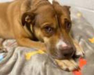 Adopt Sriracha a American Pit Bull Terrier / Mixed dog in Phoenix, AZ (32674014)