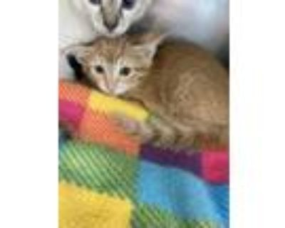 Adopt 48240289 a Orange or Red Domestic Mediumhair / Mixed cat in El Paso