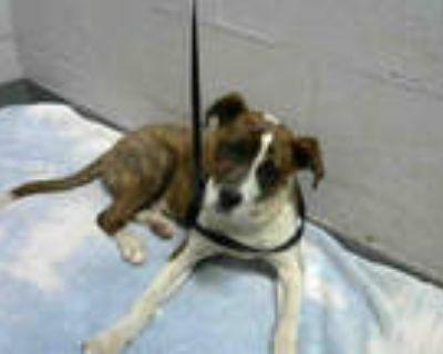 Adopt TICO a Tricolor (Tan/Brown & Black & White) Beagle / Mixed dog in Atlanta
