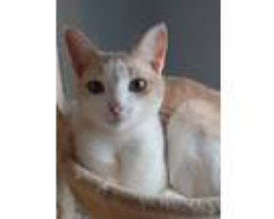 Adopt Peek a White (Mostly) American Shorthair / Mixed (short coat) cat in