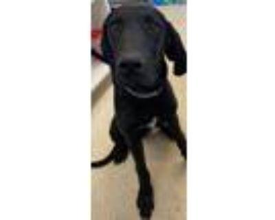 Adopt Todd a Hound, Labrador Retriever
