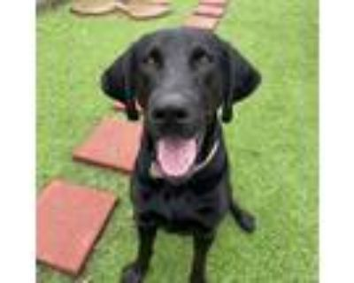 Adopt Onyx a Black Labrador Retriever / Mixed Breed (Large) / Mixed dog in