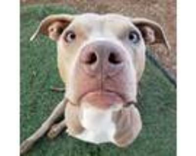 Adopt Hanson a Tan/Yellow/Fawn - with White Pit Bull Terrier dog in Phoenix