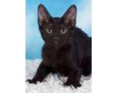 Adopt Boo Berry a Domestic Short Hair, Extra-Toes Cat / Hemingway Polydactyl