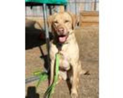 Adopt AUBREE a Labrador Retriever