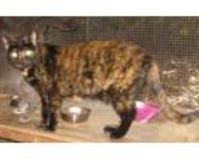 Adopt Callie a Tortoiseshell Domestic Shorthair / Mixed (short coat) cat in