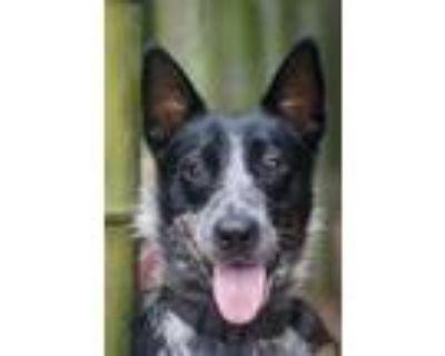 Adopt Freckles Gia a Australian Cattle Dog / Blue Heeler