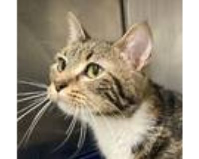Adopt Magalyn a Calico or Dilute Calico Domestic Shorthair (short coat) cat in