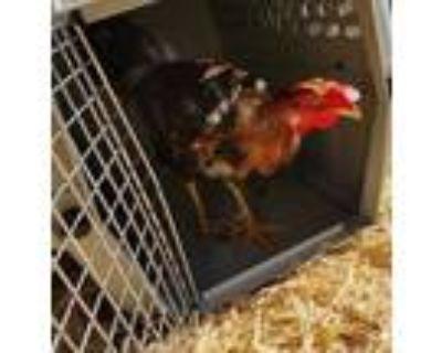 Adopt 48149824 a Brown Chicken / Mixed bird in Kansas City, MO (32013065)