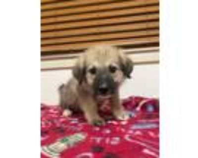 Adopt Brynlee a Tan/Yellow/Fawn - with Black German Shepherd Dog / Mixed dog in