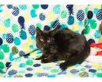 Adopt Dawson a All Black Domestic Shorthair / Mixed cat in Washington