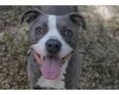 Adopt Luckas a Pit Bull Terrier