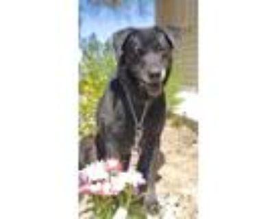 Adopt Jolene a Black Labrador Retriever / Mixed dog in Scottsdale, AZ (31628450)