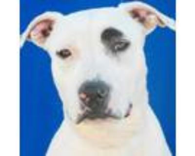 Adopt Madison a Pit Bull Terrier