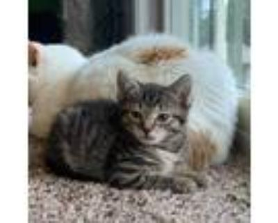 Adopt Weeble a Brown or Chocolate Domestic Shorthair / Mixed cat in Wichita
