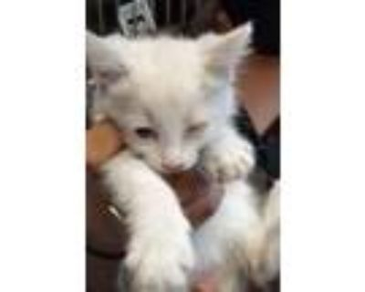 Adopt 47892951 a Cream or Ivory Siamese / Mixed cat in El Paso, TX (31525977)