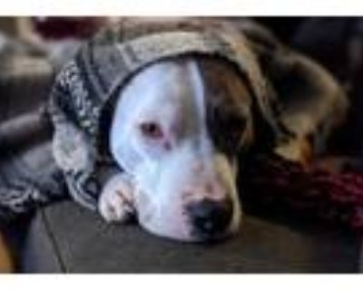 Adopt Poe a White - with Gray or Silver Pit Bull Terrier / Mixed dog in