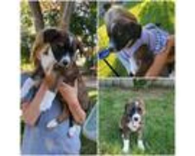 Adopt Daisy a Tricolor (Tan/Brown & Black & White) Border Collie / Mixed dog in