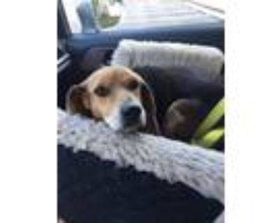 Adopt Skylar Edgecomb a Tricolor (Tan/Brown & Black & White) Beagle / Mixed dog