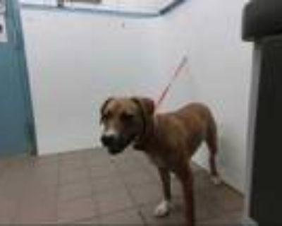 Adopt GINGER a Brown/Chocolate Labrador Retriever / Beagle / Mixed dog in