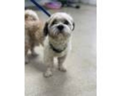 Adopt ADOPTED Lucky a Tan/Yellow/Fawn Shih Tzu / Mixed dog in Fort Worth