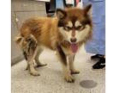 Adopt Boris a Siberian Husky, Mixed Breed