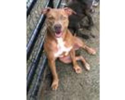 Adopt Virginia a Pit Bull Terrier