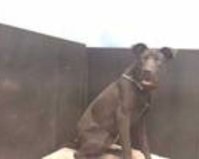 Adopt COAL a Black Labrador Retriever / German Shepherd Dog / Mixed dog in
