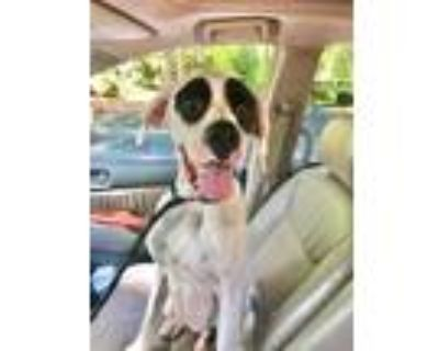 Adopt Pongo a White - with Black Great Dane / Boxer / Mixed dog in Roswell