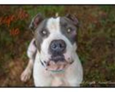 Adopt ViTo a White - with Gray or Silver Cane Corso / American Pit Bull Terrier