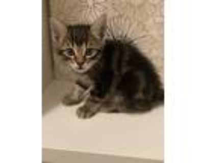 Adopt No name yet a Brown or Chocolate American Shorthair / Mixed (short coat)