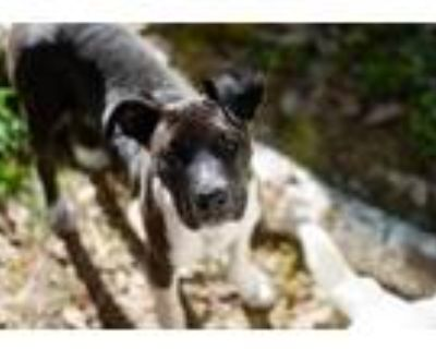 Adopt TiKa a Black - with White Bearded Collie / American Pit Bull Terrier /