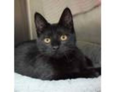 Adopt Boo Berry a All Black Domestic Longhair / Domestic Shorthair / Mixed cat