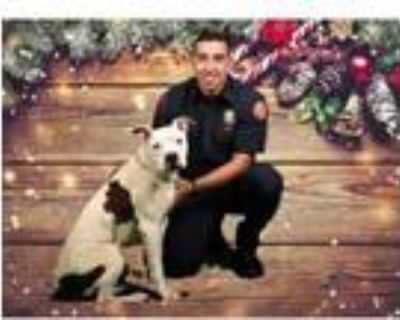 Adopt TANK a Pit Bull Terrier, Mixed Breed