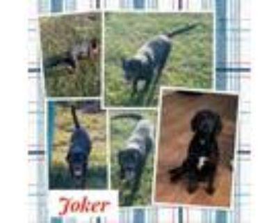 Adopt Joker a Beagle