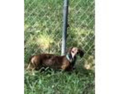 Adopt JAX a Brown/Chocolate Dachshund / Mixed dog in Olathe, KS (32125418)